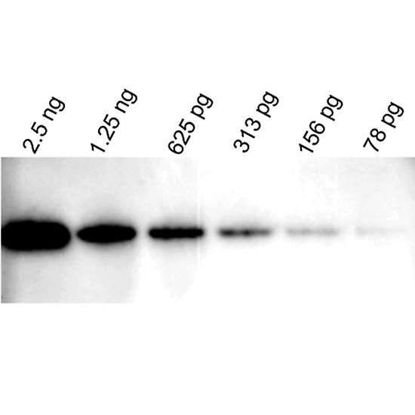 Vector Laboratories WestVision HRP Anti-Mouse IgG for Western Blot Detection